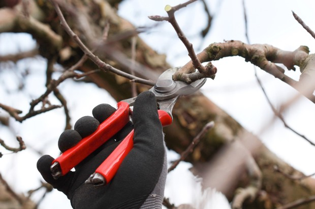 Winter pruning of apple and pear trees